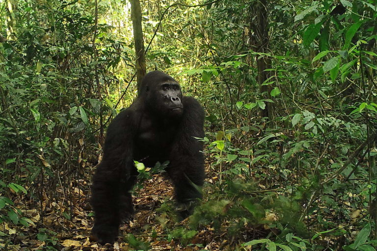 In DRC, community ownership of forests helps guard the Grauer's gorilla