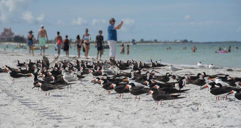 Saving the shorebirds, one trip off Tarpon Springs at a time