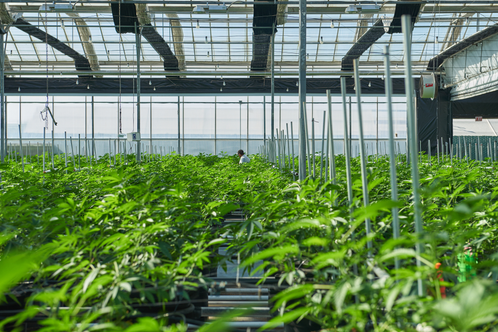Would-Be Cannabis Farmers Face Big Challenges