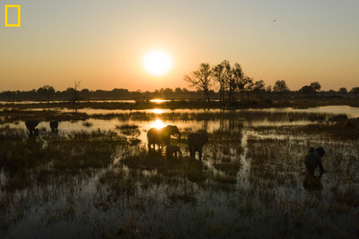 View of elephants in the delta in early morning. The 2019 Okavango Delta Crossing focused on the northern and eastern reaches of the Delta - a new route for the team and a part of the Delta seldom visited by humans - due to a low flood pulse this year. They travelled several hundred kilometers in mokoros and along the way conducted wetland bird surveys, hydrological surveys, and mammal/reptile/invertebrate surveys. Photo by Chris Boyes / National Geographic Okavango Wilderness Project.