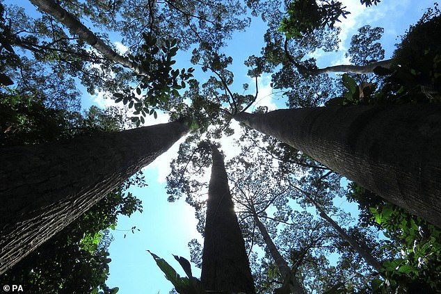 Human activities like agriculture, livestock farming and logging are putting nearly a third of the world's tree species at risk of extinction, a report has warned. Pictured: trees in Borneo, which are threatened bypalm oil plantations