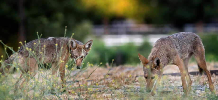 Rancho Palos Verdes approves hiring of professional coyote trapper – Daily Breeze